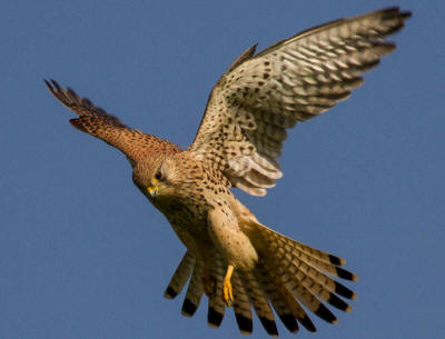National Bird of Belgium: Common Kestrle