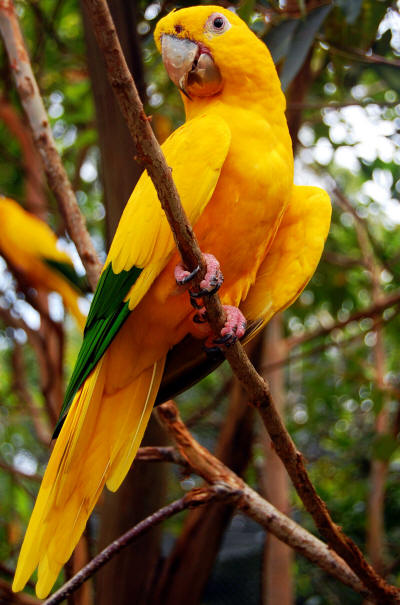 National Bird of Brazil: Golden :Parakeet