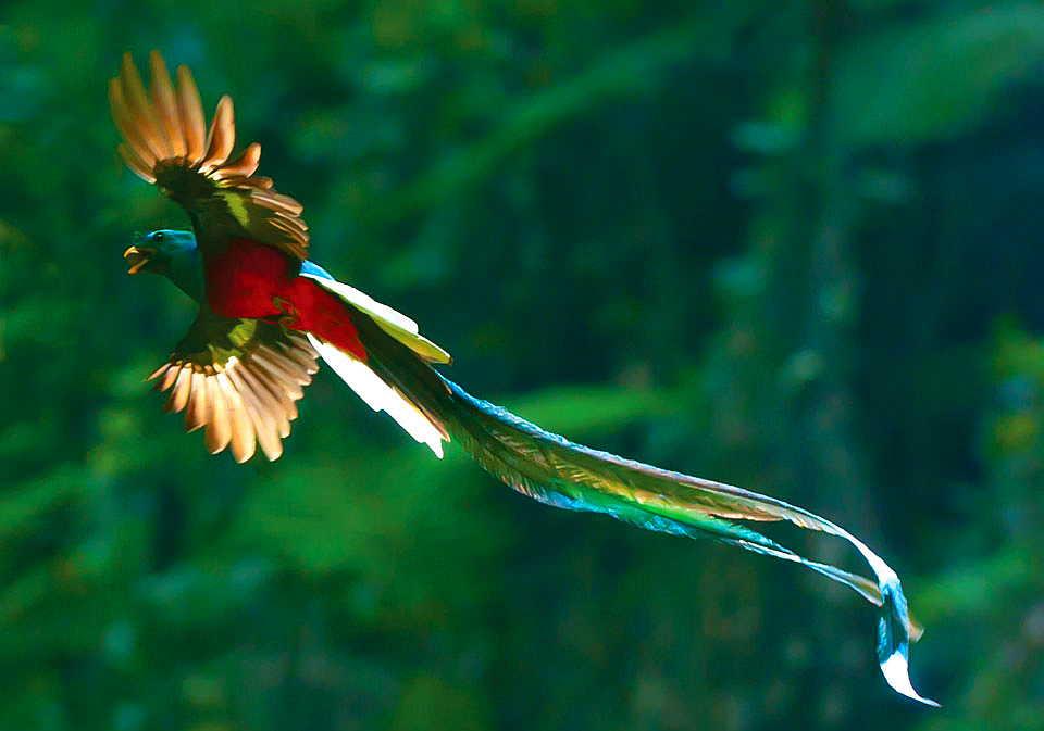 NicaBirds: Yellow-eared Toucanet at Cerro Musún