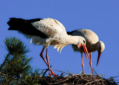 National Bird of Germany: White Stork